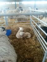 Lambing 2016